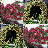(Combo Of 2 Colors) Floral Treasure Red & Yellow Climbing Rose Seeds - Pack Of 20