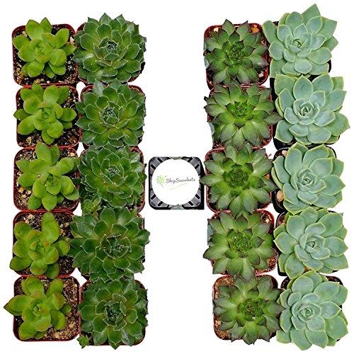 shop-succulents-unique-succulent-collection-of-20