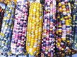 グラスジェムコーン(宝石とうもろこし)Glass Gem Corn