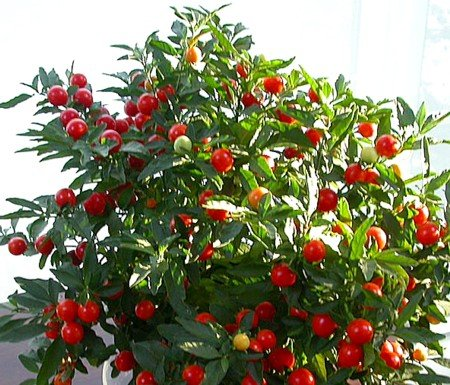 Buy Jerusalem Cherry 15 Seeds – Solanum – House Plant – FREE SHIPPING ON ADDITIONAL HIRTS SEEDS ORDERED & PAID WITH ONE PAYMENT!