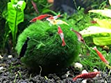 3 Giant Marimo Moss Balls - Very High Quality - 1.5 Inches, 6 to 10 Years Old!
