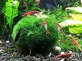 Aquatic Arts - 3 Marimo Moss Balls - 1.5 Inches