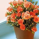 OCS 母の日 オレンジカーネーション鉢植え5号