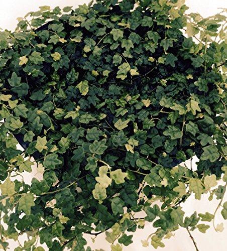 mini-oakleaf-creeping-fig-terrarium-topiary-houseplant-fairy-garden-4-pot