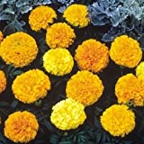Marigold - African Sunspot Mixed - 100 Seeds