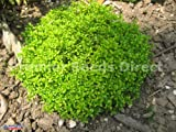 Thyme Common Organic - 0.6 gm approx 2100 seeds