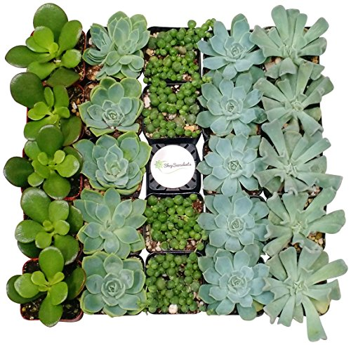 Shop Succulents Blue/Green Collection Succulent (Collection of 140)