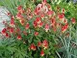 Wild Columbine Aquilegia Canadensis Native 100+ Seeds RED