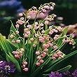 Muguet rose /Convallaria majalis - 5 plantes