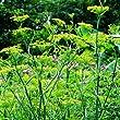 Lichtnelke Pflanzenversand