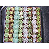 20 Assorted Succulent Plants - 2 Inch Pot - Many Varieties