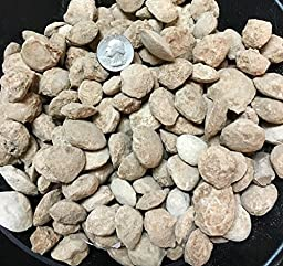 1 Pound of Fossilized Clams - Bulk Fossils by GoldNuggetMiner