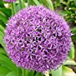 4 Giant Allium Gladiator