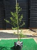 ビルベリー 樹高0.5m前後 健康に良いブルーベリー苗木♪