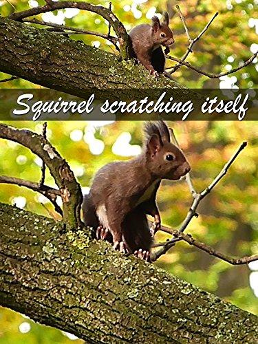 Clip: Squirrel scratching itself