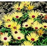 Mesembryanthemum Shimmer Yellow - 1000 Seeds
