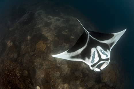 Manta Ray Markings a Giant Oceanic Manta Ray