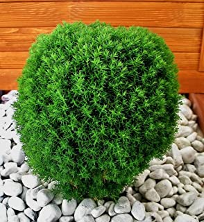 bonsai ponpon h he 110 120 cm gr ner zypressenbonsai. Black Bedroom Furniture Sets. Home Design Ideas
