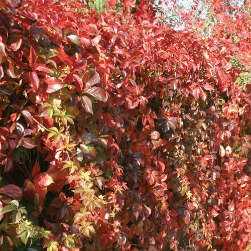 Parthenocissus Veitchii Ornamental Grape Vine - 25 Plants