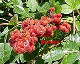 Gro-Low Fragrant Sumac - Rhus - Fragrant - Red Berries