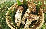 【国産 天然】天然松茸100g!採りたてを産直。天然国産松茸最安値 香りがとても強いです