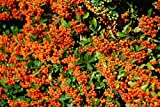 25 Pyracantha 'Orange Glow' Plants / Firethorn 'Orange Glow' 15-20cm Tall