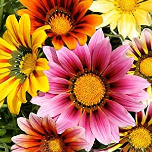 Pepper Agro Pepper Agro Mixed Gazania Sunshine Hybrid Seeds
