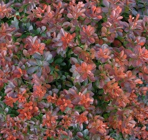 10 BARBERRY BUSH Berberis Shrub Seeds