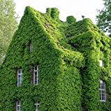 (Pgb Ep#777) 100 Seeds / Pack Green Boston Ivy Seeds Ivy Seed for DIY Home & Garden Outdoor Plants Seeds