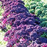Seeds and Things 100 + Scarlet Kale Garden Seeds