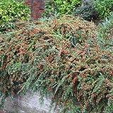 3 X COTONEASTER 'HORIZONTALIS' DECIDUOUS SHRUB HARDY GARDEN PLANT IN POT