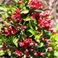 Red Sonic BloomTM Weigela - Lipstick Red, Everblooming - Proven Winners