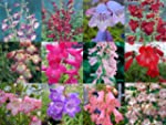 Penstemon Mixed Collection 10 plug pl...