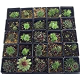 'Hardy Species Mix' Hens & Chicks-4 Plants-Sempervivum