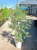 オリーブの木 10号 観葉植物