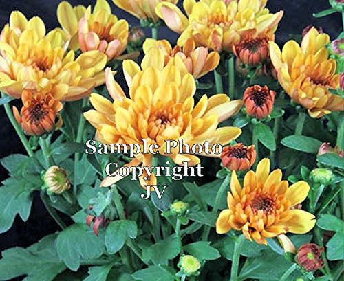 50 seeds! Sun or Shade Vibrant fall colors hardy- beds and borders Most Popular Mum Chrysanthemum indicum Indian Chrysanthemum