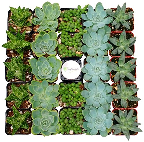 Shop Succulents Blue/Green Collection Succulent (Collection of 256)
