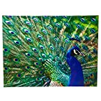 Peacock Gallery Wrapped Canvas Print