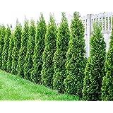Degroots Spire Arborvitae Tree ( thuja ) - Live Plant - Quart Pot