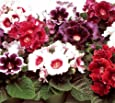 25+ Gloxinia Empress Mix Flower Seeds / for the Garden or Houseplant