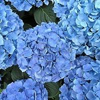 'Nikko Blue' Hydrangea macrophylla - Bigleaf - A Top Seller - 4