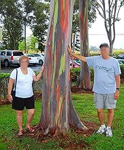 Amazon Com Rainbow Eucalyptus Live Tree Eucalyptus Deglupta Sapling Colorful Bark