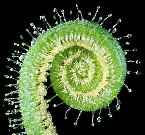 Buy Giant Thread Leaf Sundew Plant – Drosera 'Tracyi'-Hardy