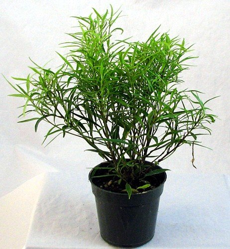 Bamboo Leaf Weeping Fig Tree - Bonsai or House Plant