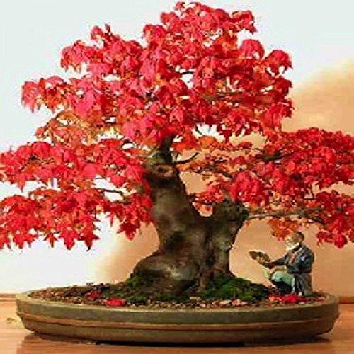 Tropica venere acchiappamosche dionaea muscipula 10 for Acero rosso milano