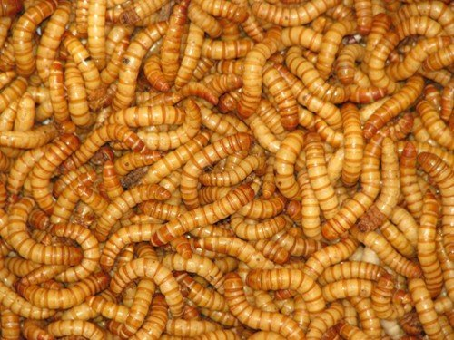 mealworms-reptile-live-food-60g-tub-20-30mm