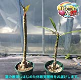 【アウトレット特価】美花を咲かせるハイブリッド種のプルメリア 苗木(4号スリット鉢)