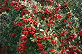 Pyracantha, Red Firethorn climber