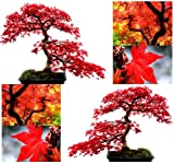 RED MAPLE Tree Seeds Acer rubrum - EXCELLENT for JAPANESE BONSAI ~ SUN - PART SHADE (0010 Seeds)