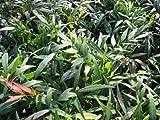 【6か月枯れ保証】【葉や形を楽しむ木】ヒイラギナンテン/マホニアコンフューサ 0.2m